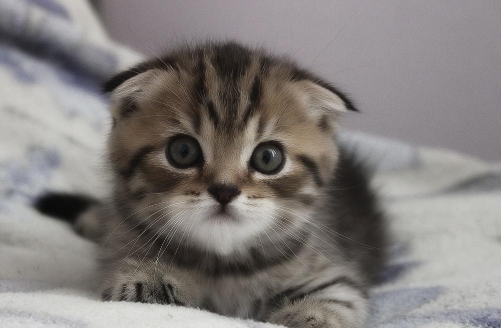 картинки кошек вислоухих шотландских